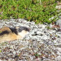 Lemming dans le Vallevarre, Padjelanta Nationalpark||<img src=./_datas/p/r/y/pry1ngdyfn/i/uploads/p/r/y/pry1ngdyfn//2012/09/19/20120919133200-d3cad993-th.jpg>