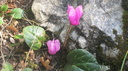 Cyclamen des Alpes (Cyclamen purpurascens)